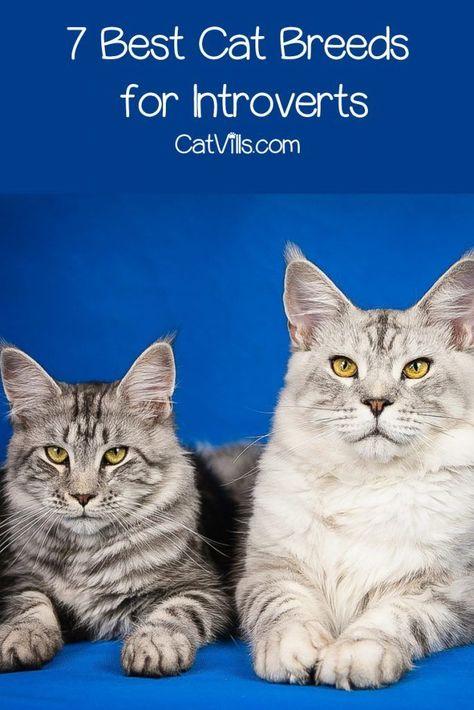 Top 7 Der Besten Katzenrassen Fur Introvertierte Catvills