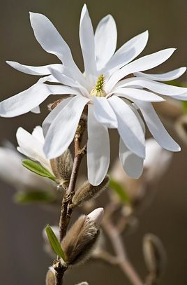Royal Horticultural Society Rhs Flower Magnolia Stellata Common Name Water Lily Royal Ho Magnolia Stellata Magnolia Flower Flowering Trees