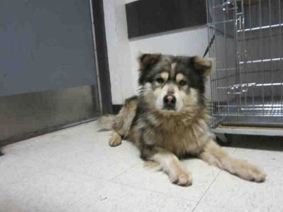 Alaskan Malamute X Chow Chow Mix 3 Want So Badly Dog