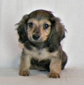 Tarlyn Dachshunds Ready Now Maricopa Dachshund Pets For Sale
