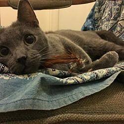 Los Angeles California Russian Blue Meet Christian Grey A For Adoption Https Www Adoptapet Com Pet 20164628 Los Angel Kitten Adoption Cat Adoption Pets