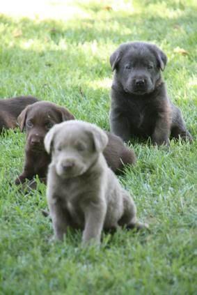 Silver Labradors Lab Puppies For Sale California Charcoal Labs Coolcanine Hotgiftsfordoglovers Labradors Labra Lab Puppies Labrador Retriever Labrador