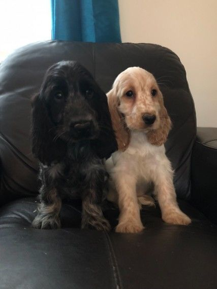 Beautiful Show Type Cocker Spaniel Puppies Spaniel Puppies Show Cocker Spaniel Cocker Spaniel Puppies
