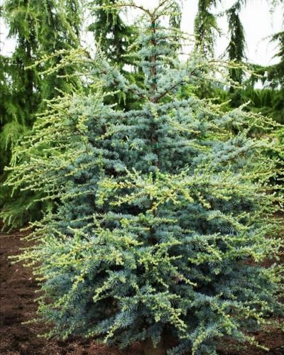 Horstmann Atlantic Cedar | Singing Tree Gardens Nursery