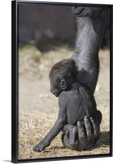 safe in his mothers hand. makes me remember taking my daughter to Woodland Park Zoo and seeing the interactions of a mother and baby gorilla with the other gorillas