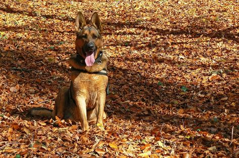 German Shepherd Dog Price Buy Kci Registered German Shepherd Puppies For Sale In India Get Healthy And Purebred Ge With Images Dogs German Shepherd Dogs Shepherd Puppies
