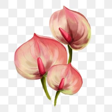 Hand Painted Flower Pink Anthurium Hand Painted Flower Flower With Picture Pink Flower Png Transparent Clipart Image And Psd File For Free Download Flower Painting Watercolor Flower Background Pink Watercolor Flower