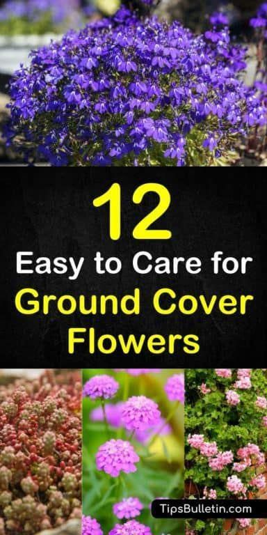 Found Out About 12 Brilliant Ground Cover Flowering Plants To Brighten Front Yards And Walkways Learn About Ground Cover Flowers Planting Flowers Ground Cover