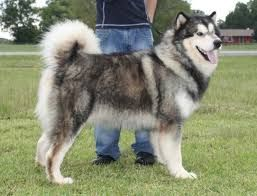 Image Result For Alaskan Malamute Full Grown Malamute Puppies