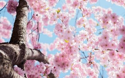 We Know What Your Favorite Season Is Based On A Few Questions Cherry Blossom Tree Blossom Trees Japan Cherry Blossom Festival