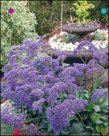 Sea Lavender (Limonium 'Perezii Blue') is an evergreen perennial Sea Lavender prefers to grow in a sunny position