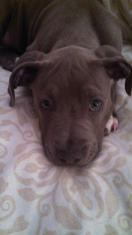 This Is My 12 Week Old Pitbull Daphne She Such A Cuddle Bug