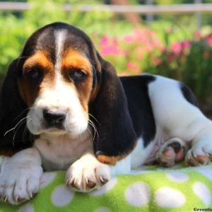 Basset Hound Puppies For Sale   firestorms, twisters, super cells