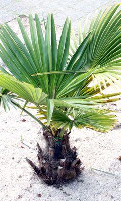 Palmen Fur Den Garten Winterharte Arten Und Pflegetipps Palmen Garten Pflanzen Garten