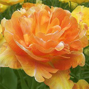 Tulip Bulbs For Sale Charming Beauty Tulip Breck S Bulb Flowers Tulip Bulbs For Sale Spring Flowering Bulbs