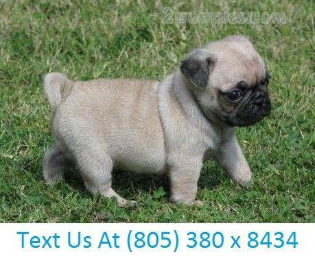 Find Your Dream Puppy Of The Right Dog Breed At Cute Pug Puppies