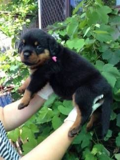 Rottweiler Puppy Dogs Puppies Gumtree Australia Parramatta