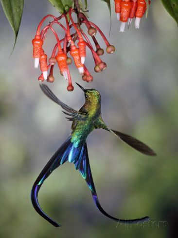 Violet-Tailed Sylph (Aglaiocercus Coelestis) Hummingbird, Heath (Ericaceae), Andes, Ecuador Photographic Print by Michael and Patricia Fogden/Minden Pictures at AllPosters.com