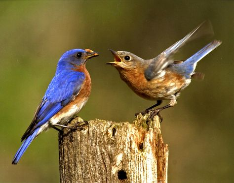 A little bluebird disagreement? Photo by Dennis Connell