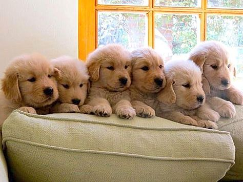 Pin By E M M A On Golden Retriever Baby Dogs Puppies