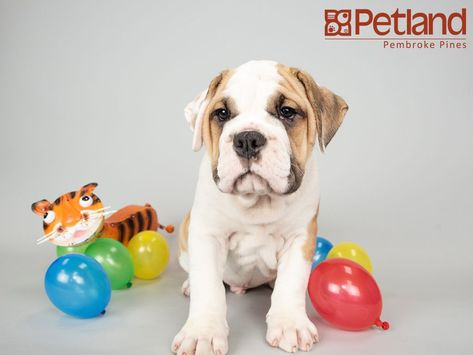 Puppies For Sale Puppies For Sale Bulldog Puppies For Sale Puppies