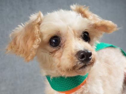 Adopt Peanut A Lovely 8 Years Dog Available For Adoption At