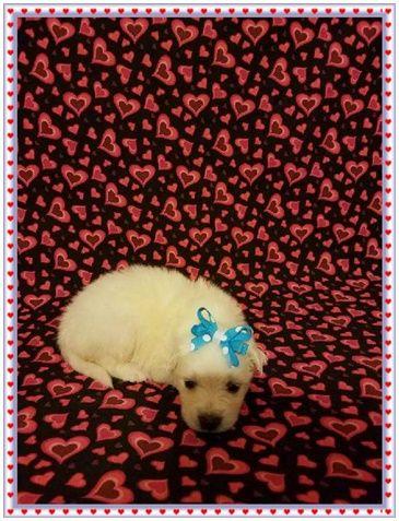 American Eskimo Dog Puppy For Sale In Clarksville Tn Adn 65404