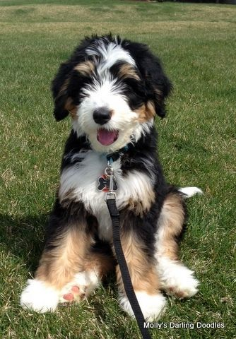 Tri Colored Bernedoodle Puppy Sitting Pretty Dogs