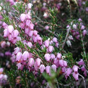 Pink Winter Heather Plant 1 5l Pot Heather Plant Plants Ground Cover Plants