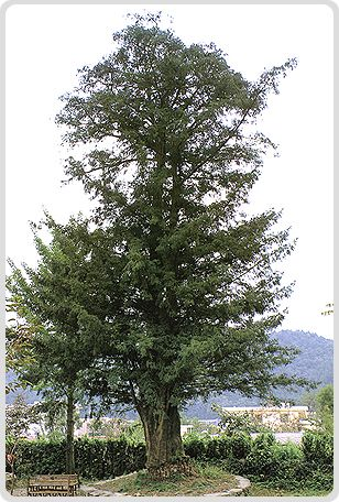 Bijanamu (Nutmeg Tree) in Gongyang-myeon, Sacheon