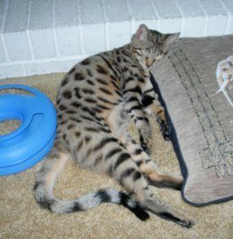 F1 Thru F5 Savannah Cat Size Guide F5 Savannah Cat Savannah Cat