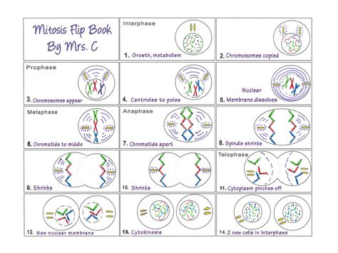 How I Teach Mitosis And Meiosis In High School Biology High School