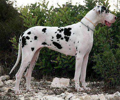 Great Dane Funny Great Dane Puppy Great Dane Funny Great Dane Dogs