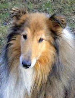 Pin By Clark Merril On Rough Collies And Shelties Rough Collie