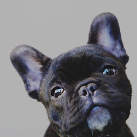 Flashback 'baby trev', the French Bulldog Puppy.