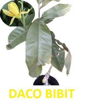 Beli Bunga Cempaka Kantil Kuning Dari Daco Bibit Dacobibit Batu Hanya Di Bukalapak Plant Leaves Plants Leaves