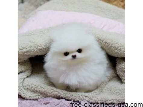 List of Pinterest teacup pomeranian for sale texas pictures