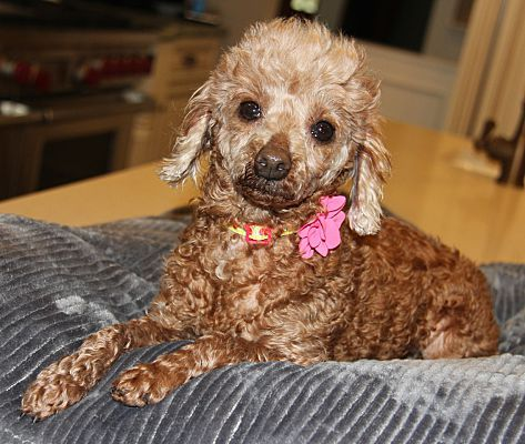 Thornwood Ny Poodle Miniature Meet Coco A Pet For Adoption