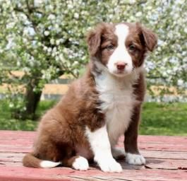 Border Collie Puppies For Sale Sheep Dog Puppy Collie Puppies For Sale Collie Puppies