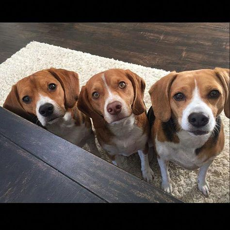 precious hound puppies beaglestraining Beagle puppy