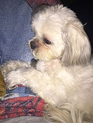 Pictures Of Minnie A Shih Tzu For Adoption In Omaha Ne Who Needs A Loving Home Shih Tzu Pet Adoption Pets