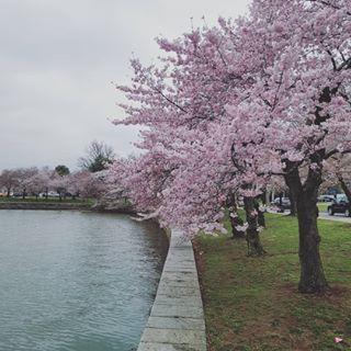 Cherry Blossoms In Washington D C In 1912 Mayor Yukio Ozaki Of Tokyo Gave 3 000 Cherry Blossom Trees To Washingt Cherry Blossom Tree Washington Dc Instagram