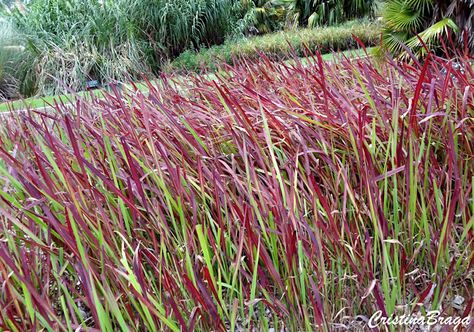 265 best Grass Grass images on Pinterest Landscaping, Plants and - carex bronze reflection