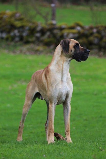 Pin By Bhaiyya Ji On Great Dane Animals Dogs