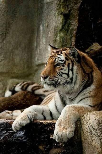Pin By Lilli On Tigers Animals Beautiful Animals Beautiful Cats