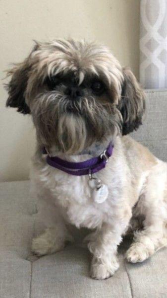 Sammy Shih Tzu Dog For Adoption In Greens Farms Connecticut