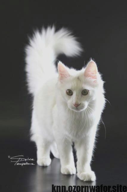 Great Photos Long Hair Cat Breeds Suggestions Angora Cats Turkish Angora Cat Cat Breeds