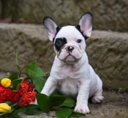Pin By Sharon Smickle On Cute Animals In 2020 Bulldog Puppies French Bulldog Puppies Bulldog