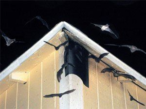How To Get Rid Of Bats Know All The Existing Solutions In 2020 Getting Rid Of Bats Bat House Bat