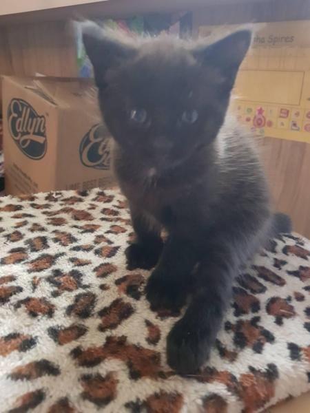 Kitten For Sale Kitten For Sale Kittens Cats And Kittens